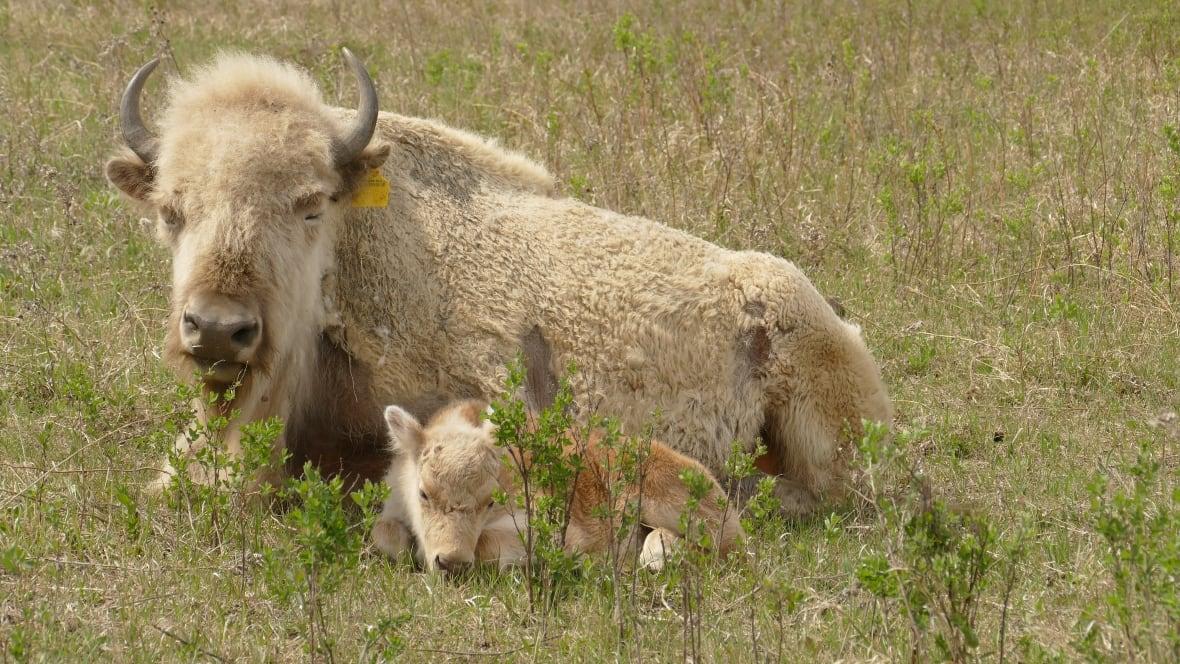Birth of rare white bison calf draws visitors to western ...