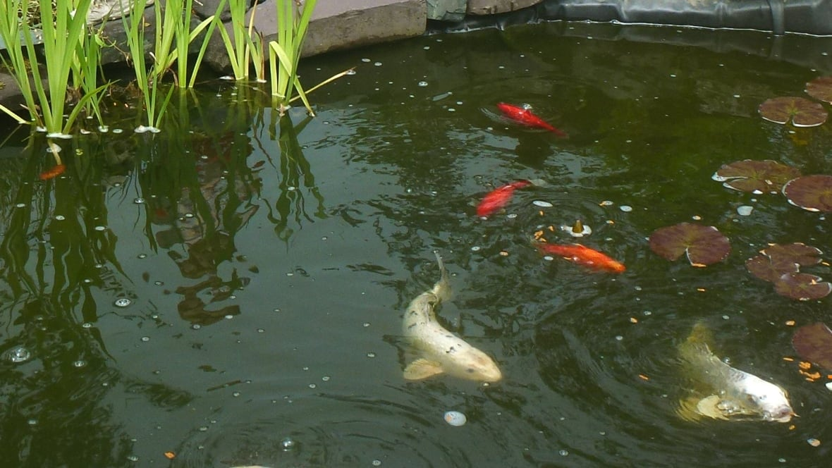 39 we 39 re devastated 39 koi fish caper in brigus junction for Koi pond labradors
