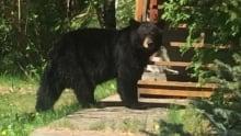 Black bear, Sudbury, Ont.
