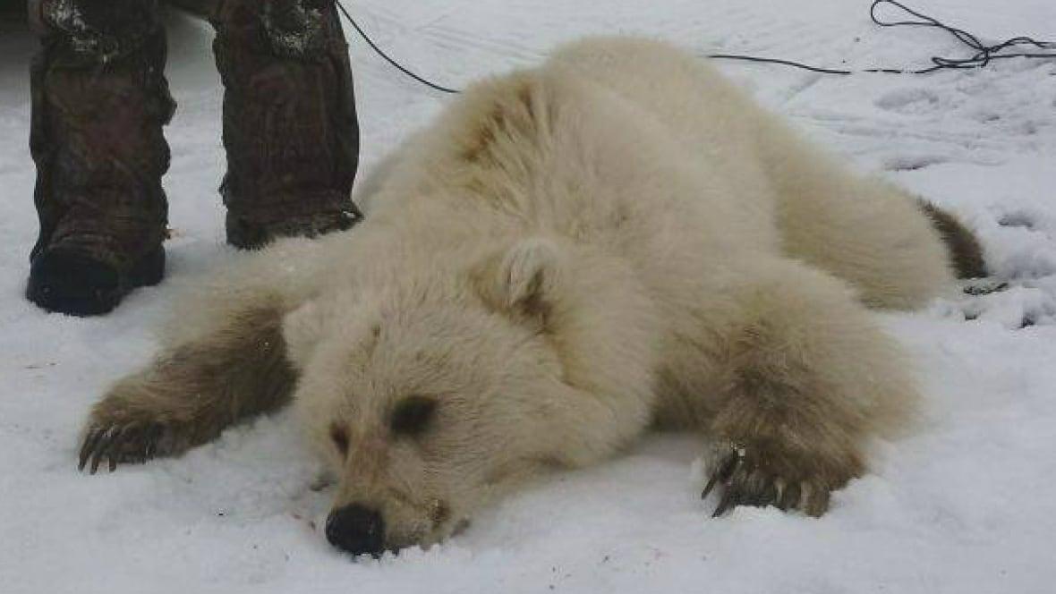 Pizzly bear size