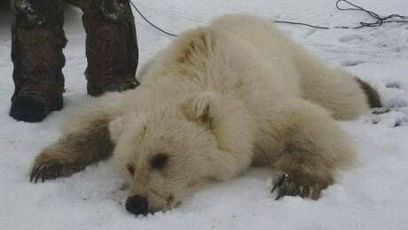 Grizzly-Polar Bear Hybrid