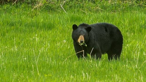 Young girl critically injured after bear attack in Port Coquitlam