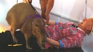 Capybara 'captures' CBC reporter