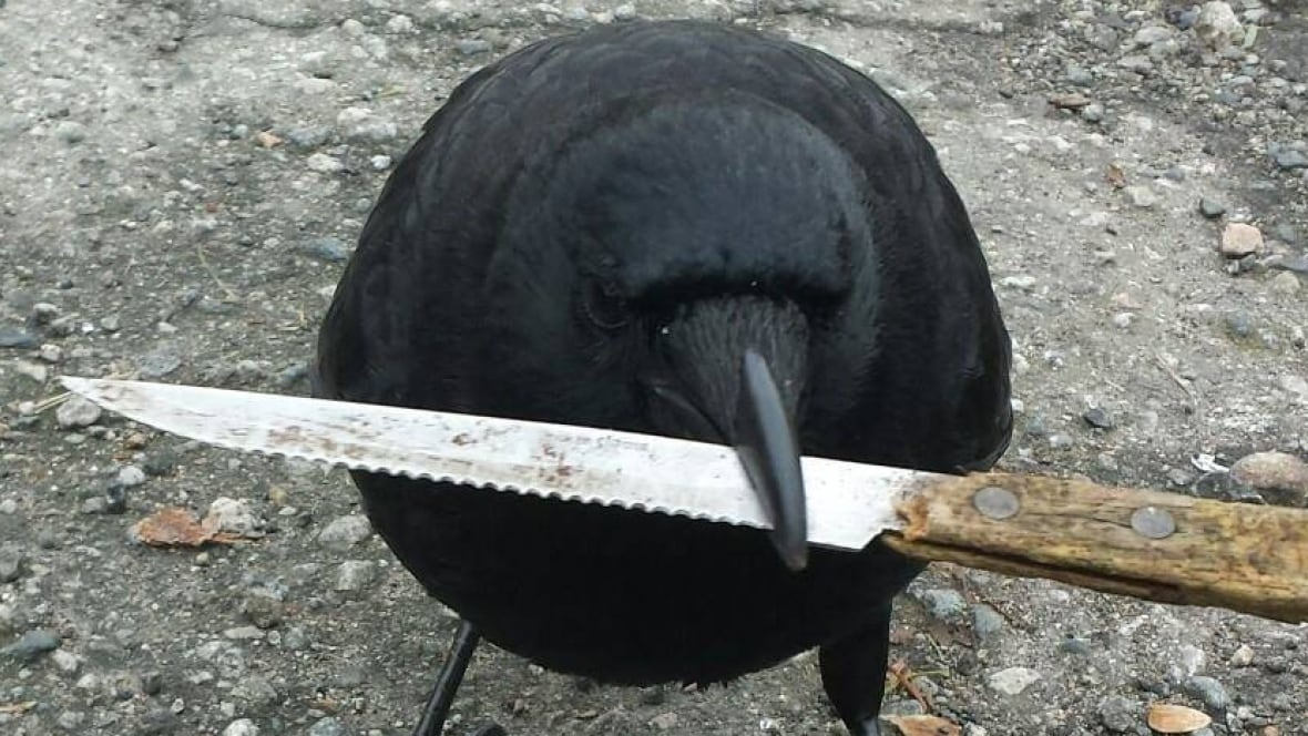 canuck the crow gets international notoriety for stealing. Black Bedroom Furniture Sets. Home Design Ideas