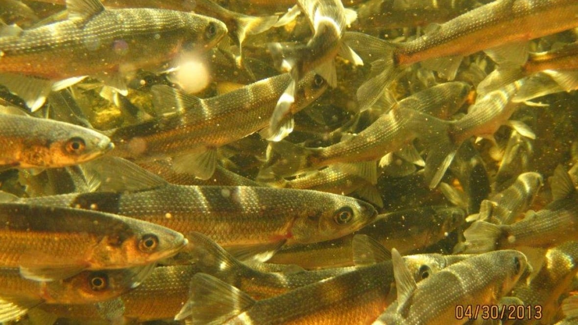 Lake utopia home to fish considered species at risk new for Are fish considered animals