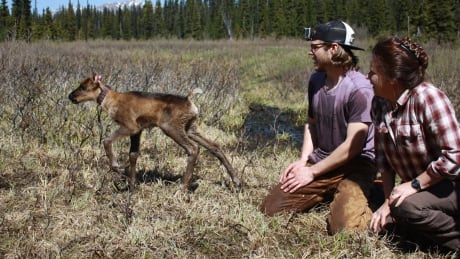 Protected B.C. caribou herd welcomes 11 new calves