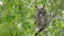 Great horned owl in Calgary