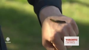 Caterpillars overrun Scarborough neighbourhood