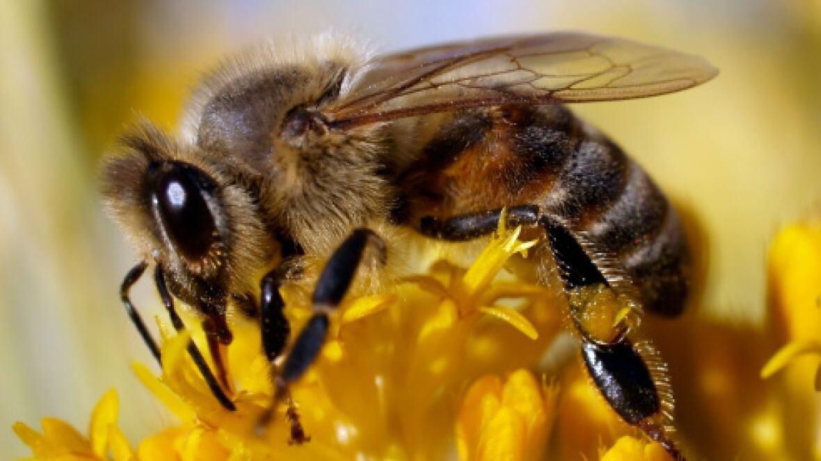Global honey glut stinging Manitoba beekeepers - Manitoba ... - photo#30