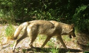 Pacific Rim wolf
