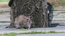 Rat in downtown Toronto