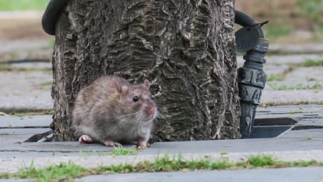 Rats! Kamloops deals with rodent invasion