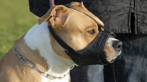 Pit bulls are required to wear a muzzle in Ontario under a 2005 law ...