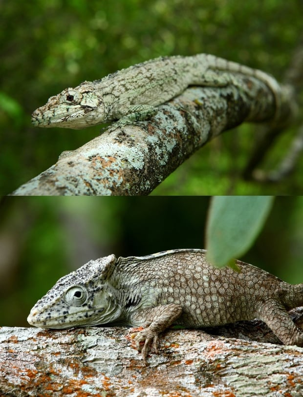 New lizard
