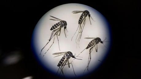 Mosquito Factory: Adult Female Mosquitos — June 21, 2016