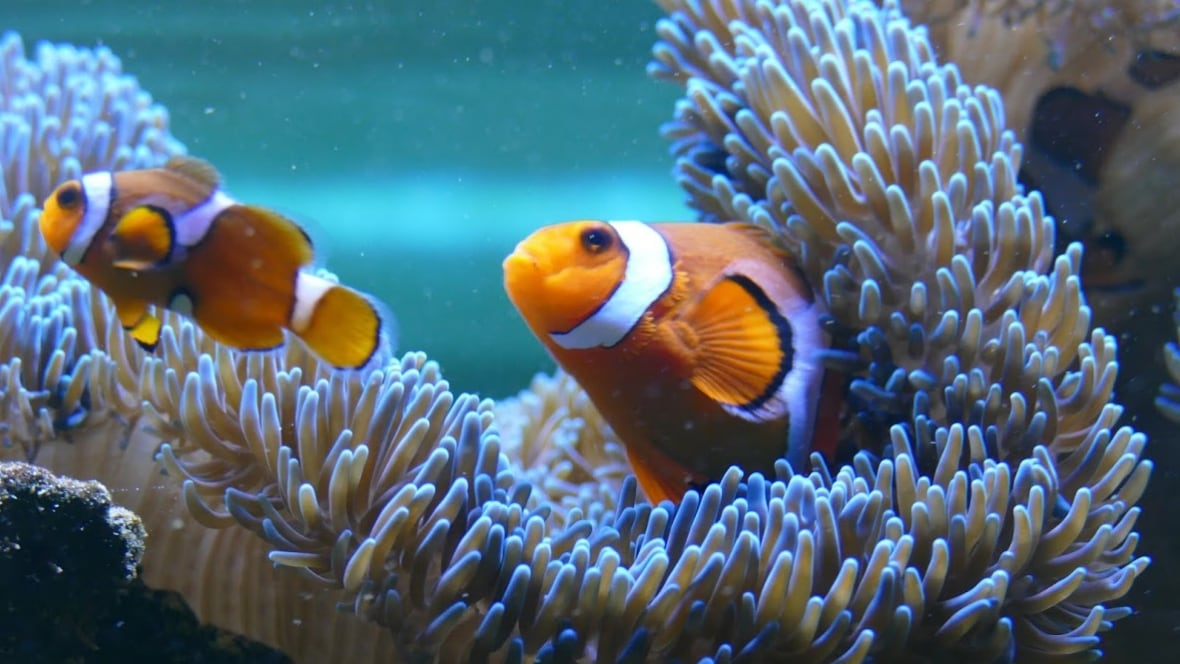 cyanide used to hook dory nemo for pet stores scientists