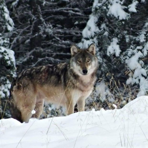 wolf culling in alberta For eleven years the alberta government has murdered thousands of wolves in the little smoky region east of grande cache by every means possible, all in the name of conserving caribou join john as he visits.