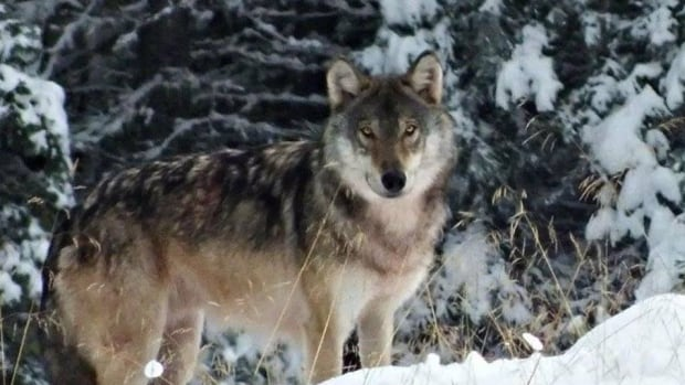 Saskatchewan's wolf hunt begins Oct. 15 and continues to March 31.