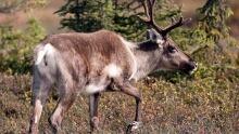 Alta Caribou Preservation 20160608