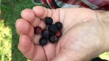 Saskatoon berry farm Osgoode Ron and Maureen Ovens July 2016