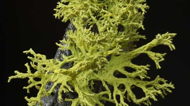 "Most people know lichens, such as this wolf lichen, as those flaky, light green things that grow on tree bark. You probably learned in school that they're a mutually beneficial partnership or ""symbiosis"" between fungi and algae, but many lichens have now been found to include a third partner, a yeast."