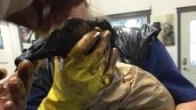 Canada Goose Oil Spill