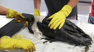 Oil-drenched birds treated near Husky Energy spill
