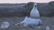English Bay garbage seagull 23 July 2016
