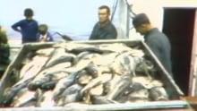 Fogo cod fishery