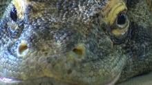 Calgary Zoo Komodo dragon