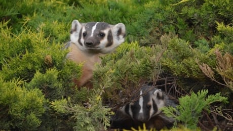 British badgers terrified by CBC programming, study suggests