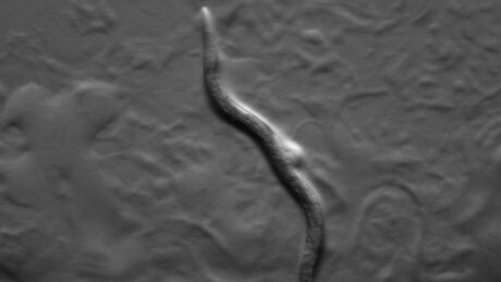 Now is the time to release the nematodes into lawns to attack chafer beetle larvae