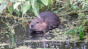 Baby beavers in Olympic Village may struggle to find a home in Vancouver