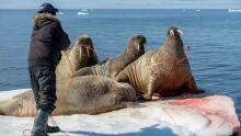 Walrus hunt