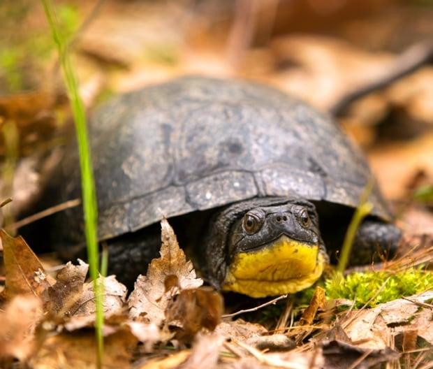 Blanding's turtles