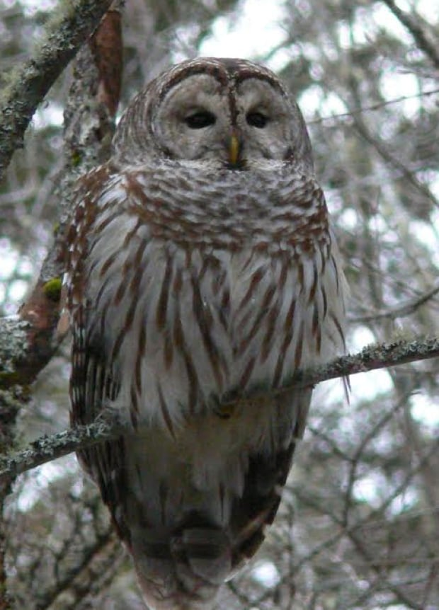 What a hoot! 10 fun facts about owls on P.E.I. - Prince ...