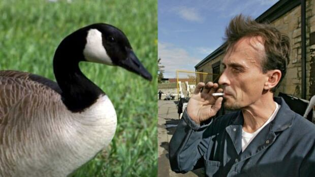 Canada Goose chilliwack parka sale shop - Prison Break actor rescues distressed Canada goose - British ...