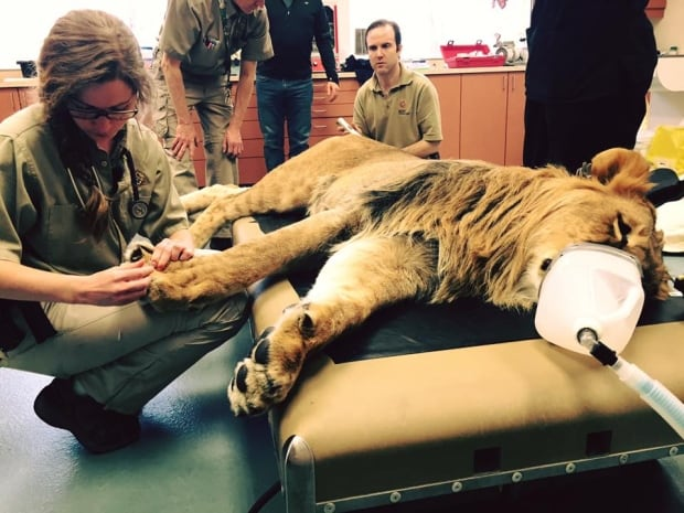 Canadian zookeeper hospitalised by lion attack