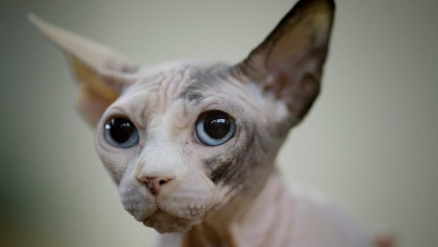 Toronto, Home of the Hairless Sphinx Cat