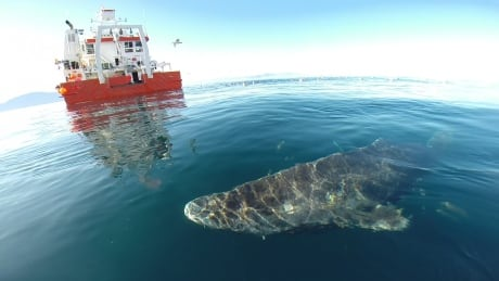 Greenland sharks may live 400 years, scientists say