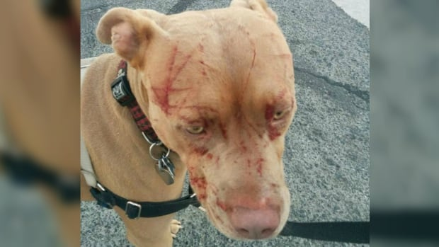 Javiera Rodriguez says her pit bull, Bandida, was attacked by a cat yet there are no bylaws in the municipality of Saanich, B.C., against dangerous animals other than dogs.