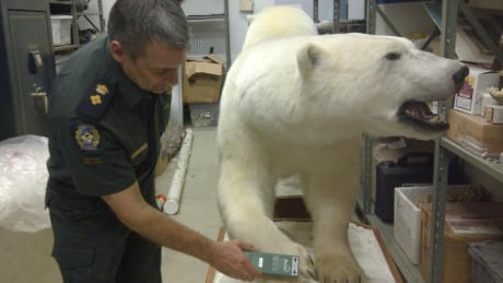 Canada develops new polar bear tracking system to fight smugglers