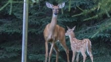 Doe deer with antlers and fawn