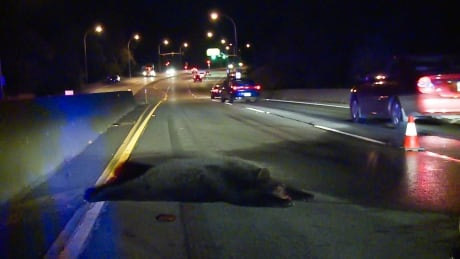 Bear killed following Port Coquitlam collision
