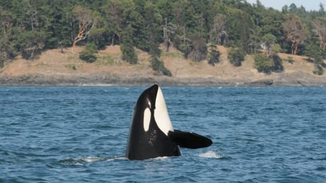 Southern resident orca grandmother missing, possibly dead