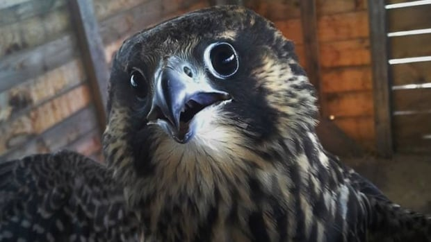 The peregrine falcon was injured on Canada Day and after care from the Atlantic Wildlife Institute, it was re-released into the wild