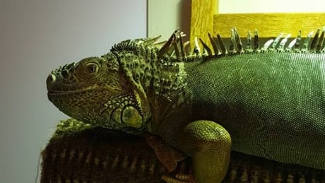 Gaylord  the iguana