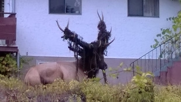 Youbou Residents Looking For 2 Elk Trapped In Fencing
