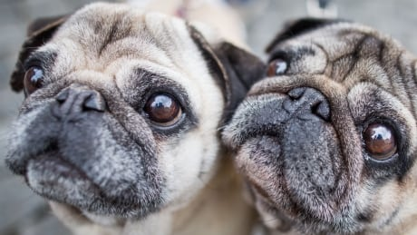 'Like breathing through a straw' British vets urge people to stop buying flat-faced dogs