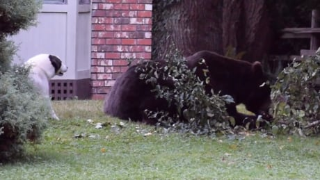 Grizzly bear rarely seen on Sunshine Coast not fazed by barking dog